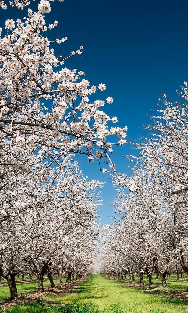 almendros-flor-blanca-grupo-baraka(650x1080)
